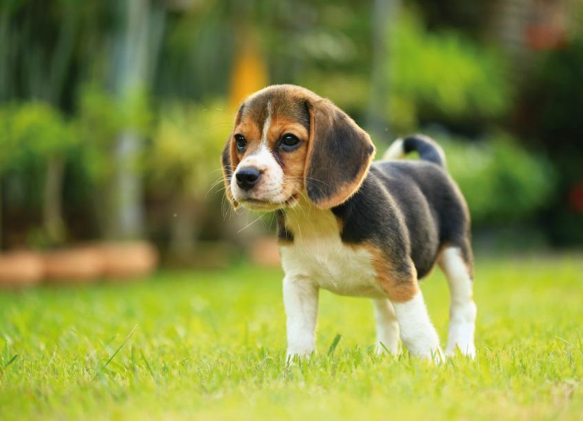beagle-portada